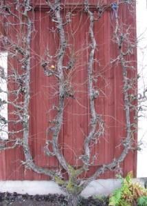 Spaljerat päronträd