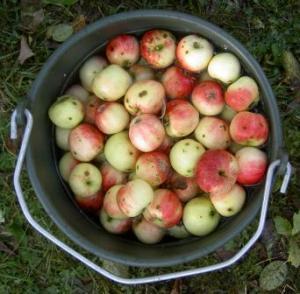 Äpplen tvättas rena i vatten