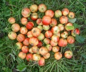 Vildäpplen till cider