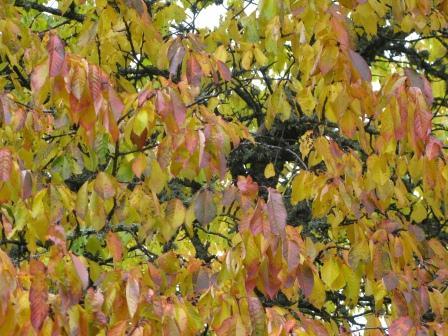 Frosten målar trädens löv